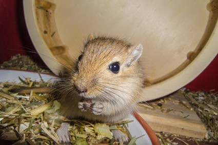 can gerbils be potty trained?