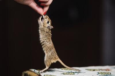 can gerbils eat bird food?