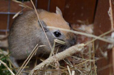 can you feed gerbils hay?