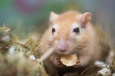 snacks to give gerbils