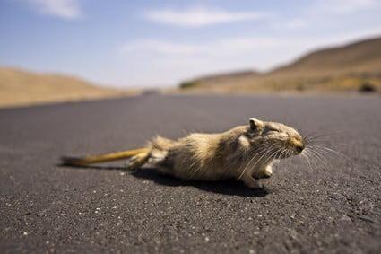 will a gerbil eat a dead gerbil?