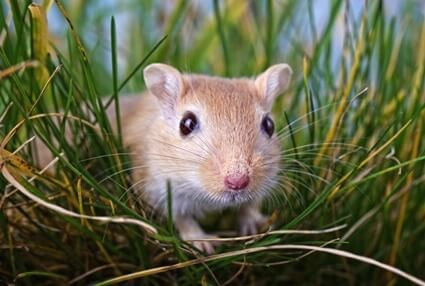 do gerbils poop when they are scared?