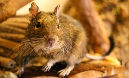 Are Degus Nocturnal?