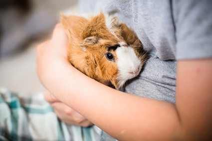 do guinea pigs sleep at night or during the day?