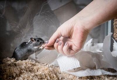 can gerbil bites be dangerous?